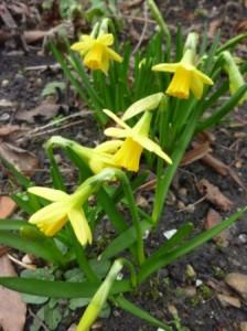 Garden daffs