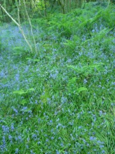 Many bluebells