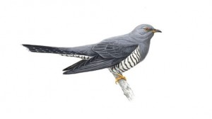 cuckoo_tcm9-16741