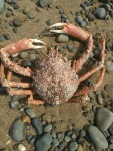 CrabPaul